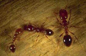 Fire ants are emerging nuisance for Virginians