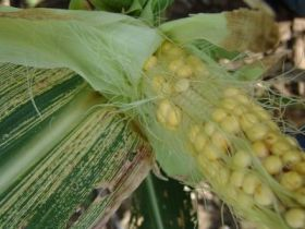 First all-African GM crop is resistant to maize streak virus