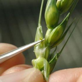 Flowering Wheat Head