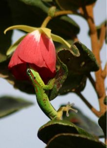Gecko Visiting Flower for Nector