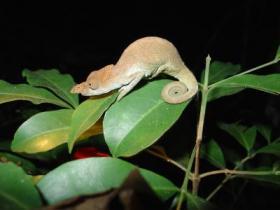 Horned Chameleon