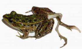 Leopard Frog Deformity