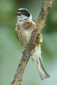 Male Penduline Tit