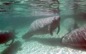 Manatees Could Lose 'Endangered' Status (AP)