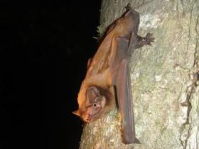 Nyctalus lasiopterus Bat