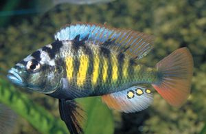 Gene in male fish lures females into sex