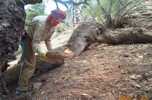 Sampling Thousand-Year-Old Wood