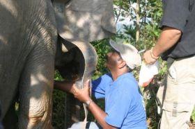 Satellite tracking reveals threats to Borneo pygmy elephants