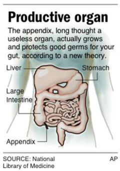 Scientists: Appendix Protects Good Germs (AP)