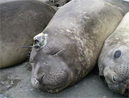 Secret Life of Elephant Seals Not Secret Anymore