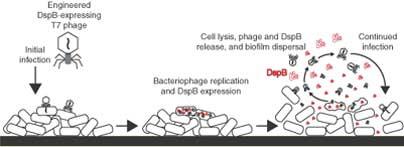 Team builds viruses to combat harmful 'biofilms'