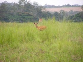 The African bushbuck