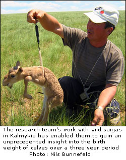 The penalty of having a sister -- why sibling sex matters for male saiga antelopes