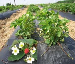 Wild strawberries may reduce cancer risk