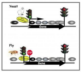 Scientists identify key roadblock to gene expression