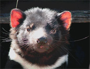 Synchrotron could help save the Tassie devil
