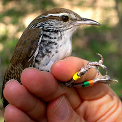Researcher 'sings' for a living to decode the meaning of bird songs