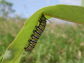 Researcher shows evolution of milkweed defense system