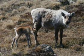Global Warming Linked to Caribou-Calf Mortality