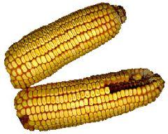 New technique makes corn ethanol process more efficient