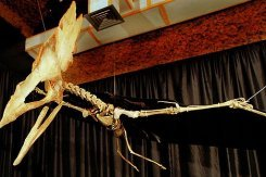 A reproduction of the Thalassodromeus sethi, a specimen of pterosaur