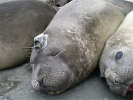 Southern Ocean seals dive deep for climate data