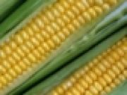 All eyes and ears on the corn genome