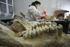 A Museum worker cleans fossils in Hohhot