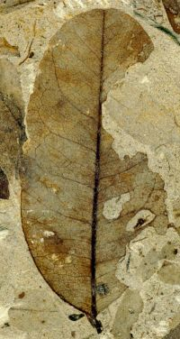 Ancient leaves point to climate change effect on insects