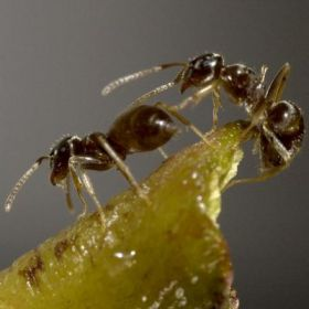 Attack of the invasive garden ants
