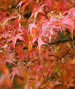 Autumn colours may be a safety mechanism for trees, say researchers