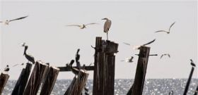 Beaches once thick with birds quiet thanks to Ike (AP)