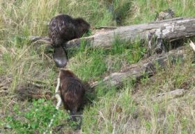 Busy Beavers Can Help Ease Drought