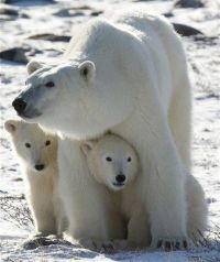 Canadian panel: Climate change is threat to polar bears (AP)