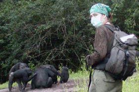 Common human viruses threaten endangered great apes