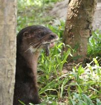 Dara the Hairy-Nosed Otter