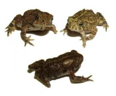 Deformed American toads