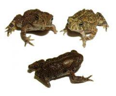Deformed American toads