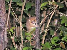 Discovery of virus in lemur could shed light on AIDS