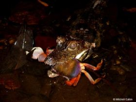 Dwarf Crocodile Consumes Crab