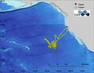 Electronic tracking system allows scientists to tail white sharks more effectively