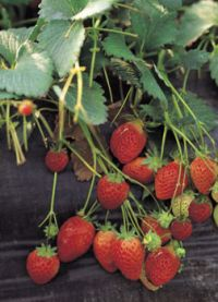 Extension helps strawberry growers fight aggressive plant disease