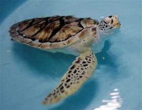 Fake Flipper Sought for Sea Turtle (AP)