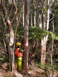 Faster koa tree growth without adverse ecosystem effects