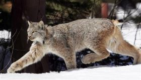 Feds Want More Critical Habitat for Lynx (AP)