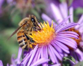 Foraging Honey Bee