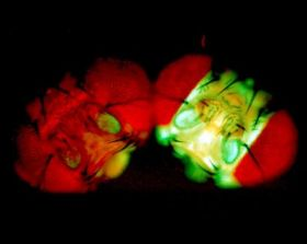Fruit flies all aglow light the way to cancer prevention