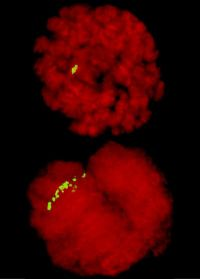 Fruit Fly Chromosomes Show Condensin II Effect