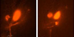 Glia guide brain development in worms