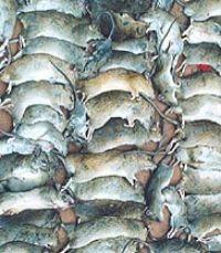 Globetrotting black rat genes reveal spread of humans and diseases